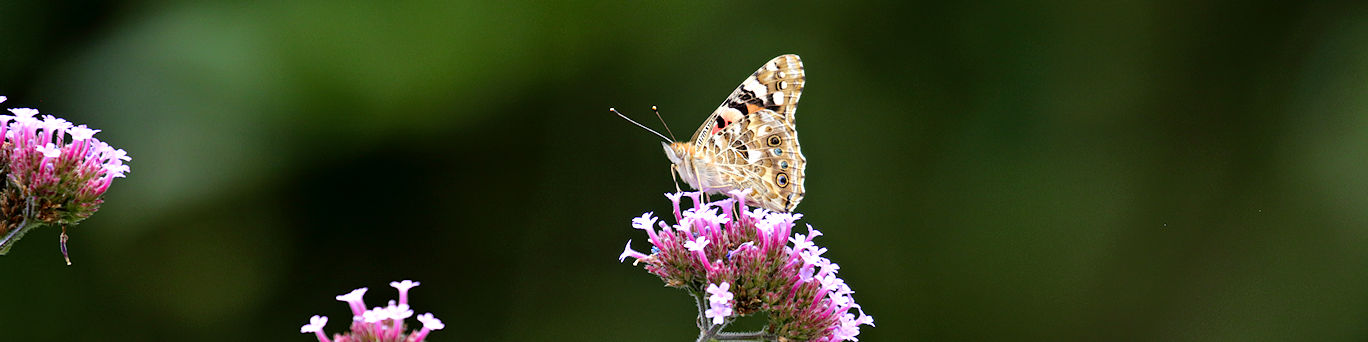 painted lady butterfly on verbena