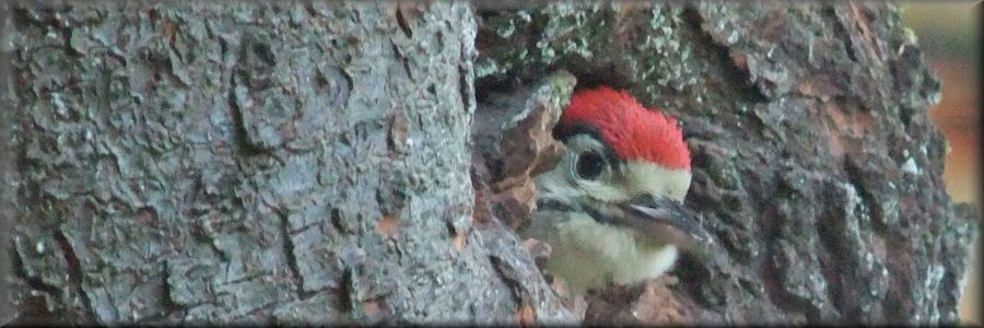 greater spotted woodpecker chick taking first look at the world outside