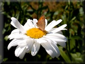 meadow-brown butterfly on ex-eye daisy